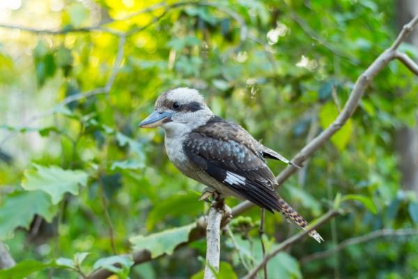 Pájaro australiano sobre una rama