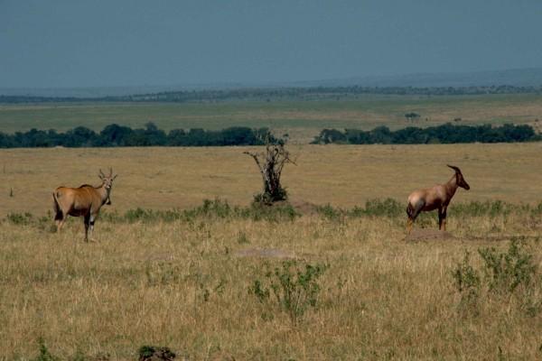 Topi y antílope en Tanzania
