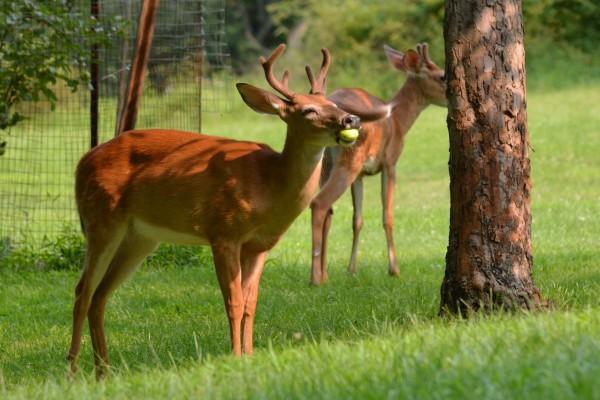 Jóvenes ciervos comiendo manzanas