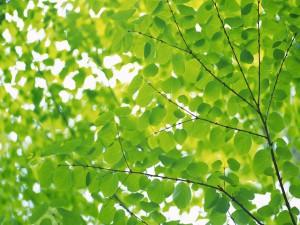Bonitas hojas verdes en las ramas de un gran árbol