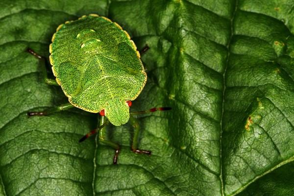 Un insecto verde con puntitos negros