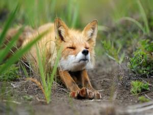 Un zorro adormilado