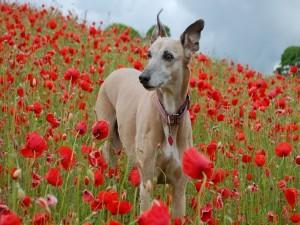 Perro en un campo de amapolas