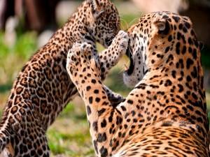 Postal: Cachorro de leopardo jugando con su madre