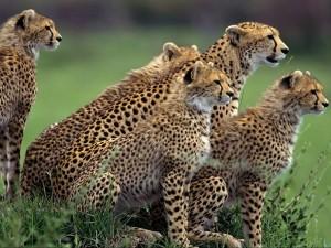 Postal: Familia de guepardos