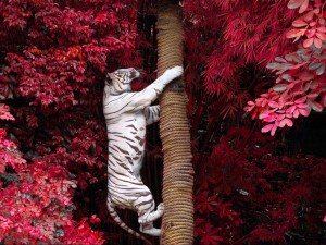 Postal: Tigre blanco trepando por un tronco