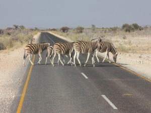 Postal: Cebras cruzando una carretera