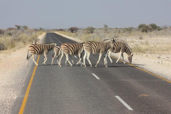 Cebras cruzando una carretera