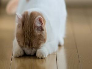 Gato con la cabeza entre las patas