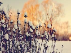 Postal: Flores secas cubiertas de nieve