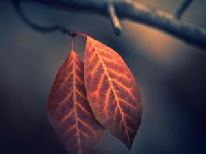 Postal: Dos hojas otoñales en una rama