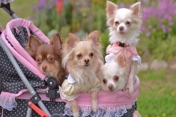 Cuatro perros en un carro para bebés