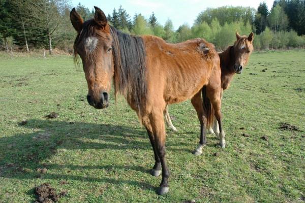 Dos caballos marrones sobre la hierba