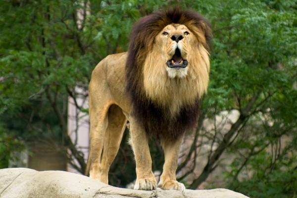 Gran león viviendo en un zoo