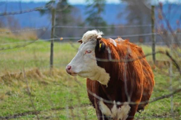 Una hermosa vaca en un prado verde