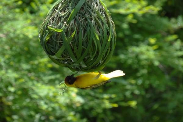 Pájaro haciendo un nido