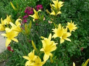 Hermosos liliums amarillos en un jardín