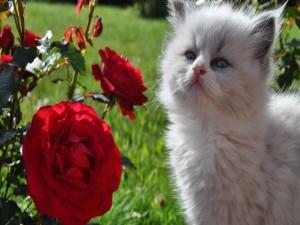 Postal: Gato blanco junto a un rosal