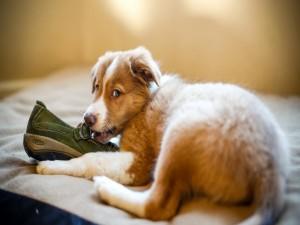 Postal: Perro jugando con un zapato