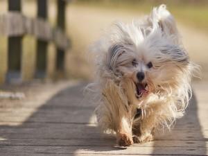 Postal: Perro corriendo con la lengua fuera