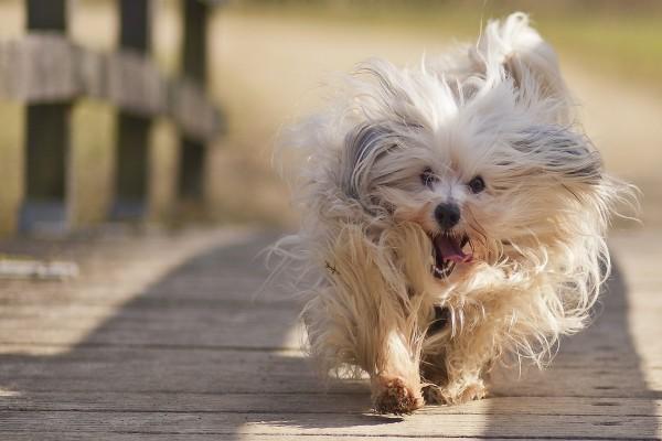 Perro corriendo con la lengua fuera
