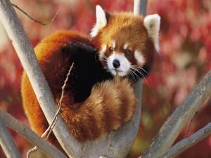 Panda rojo acurrucado en lo alto de un árbol