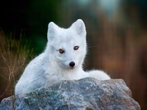 Un precioso zorro blanco sobre una roca