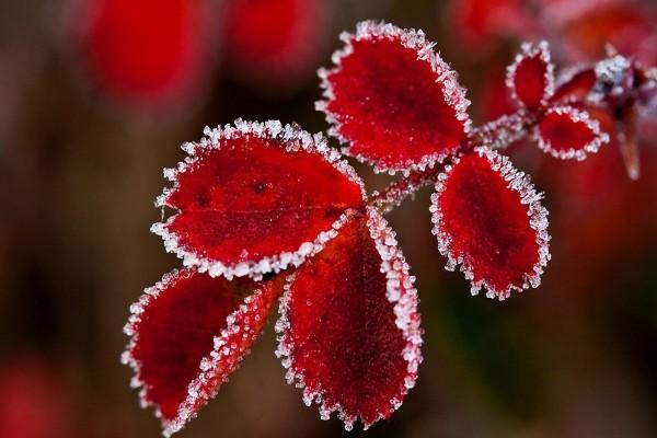 Hojas rojas con el borde escarchado