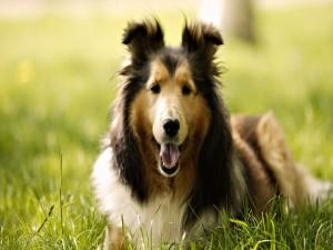 Hermoso perro tumbado en la hierba
