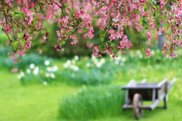 Flores rosas colgando de un árbol