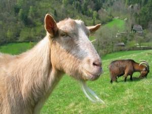 Postal: Cabras en la hierba