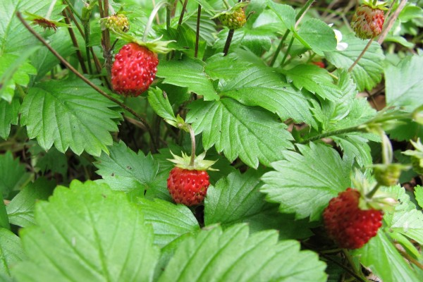 Fresas creciendo en la planta