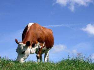 Vaca lechera comiendo pasto