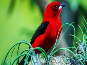 Pájaro rojo con alas negras