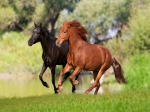 Postal: Caballo negro y caballo marrón corriendo por el campo