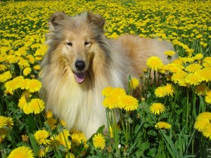 Postal: Hermoso Collie entre las flores amarillas