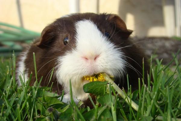 Conejillo de Indias comiendo una flor
