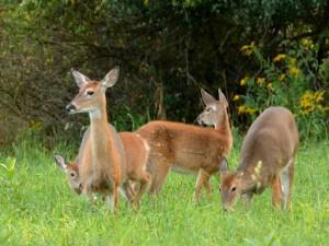 Postal: Hembras de ciervo en la hierba con sus crías