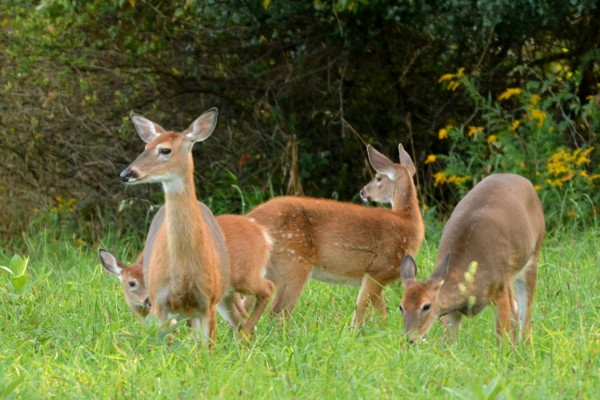 Hembras de ciervo en la hierba con sus crías
