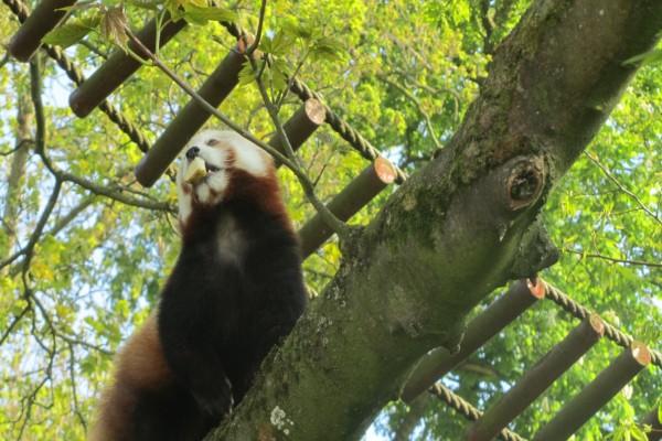 Panda rojo con comida en la  boca