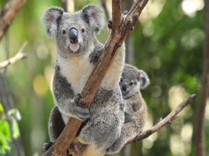 Pequeño koala sobre un árbol junto a su madre