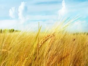 Postal: Campo de trigo