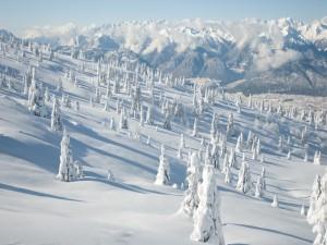 Postal: Pinar cubierto de nieve