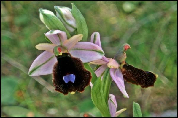 Extravagante orquídea silvestre