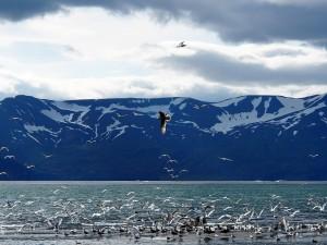 Postal: Gaviotas en la naturaleza polar de Islandia
