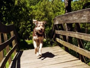 Postal: Perro corriendo por un puente de madera