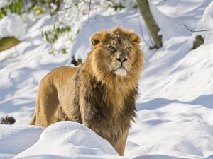 Postal: Un león en la nieve