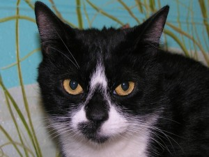 Postal: Gato con la nariz negra y hocico blanco