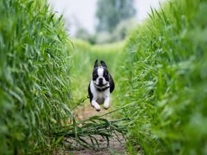 Perro saltando y corriendo en un trigal verde