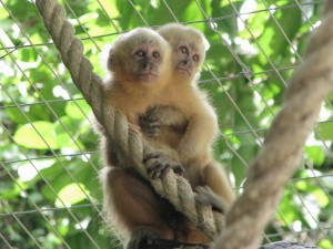 Postal: Monos abrazados